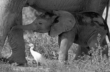 Elefant og fugl